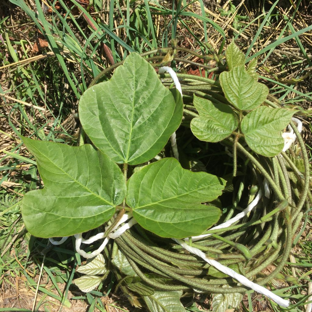 葛の蔓と葉